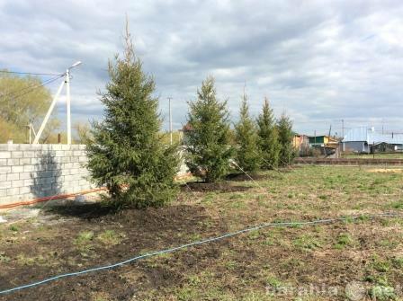 Продам: Крупномерные деревья