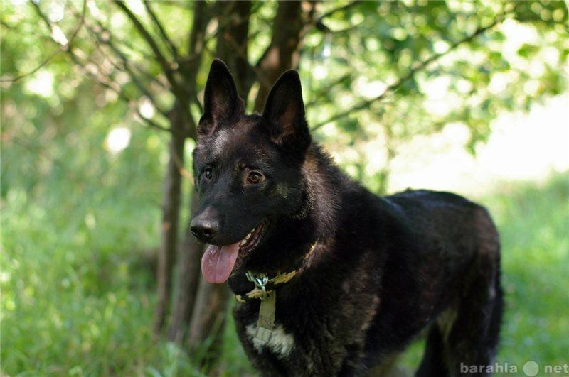 Отдам даром: Красивый метис овчара , собака Агат