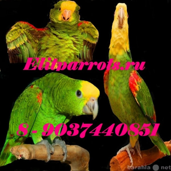 Продам Желтоголовый амазон - ручные птенцы