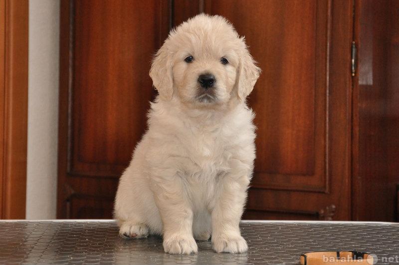 Продам щенки Золотистого(Голден) Ретривера