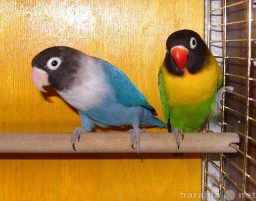 Куплю попугаев неразлучников