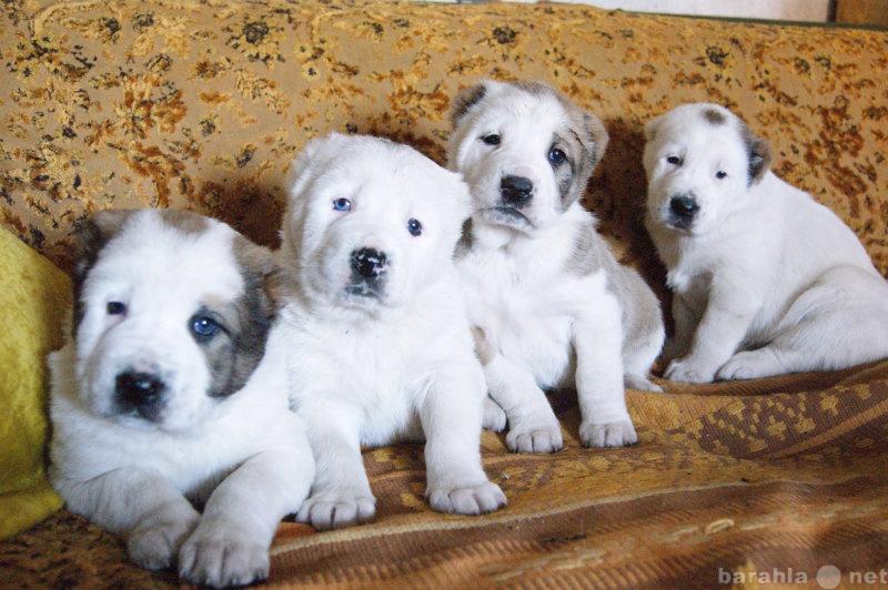 Продам чистокровные щенки среднеазиатской овчар