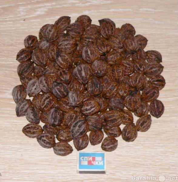 Продам: Семена маньчжурского ореха