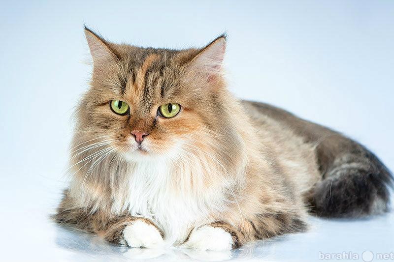 Отдам даром Шикарная трехцветная кошка Лиса