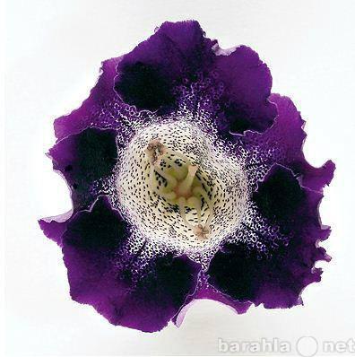 Продам: Семена Sinningia hybrida Empress F1 Purp