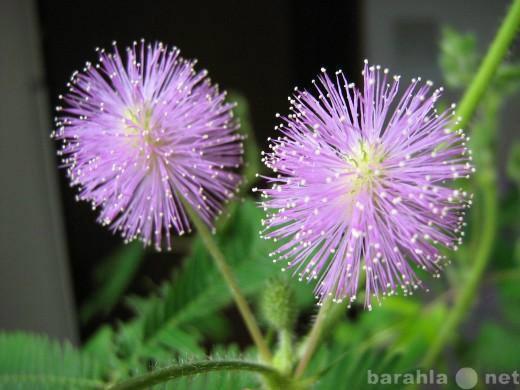Продам: Семена Mimosa pudica - Мимоза стыдливая