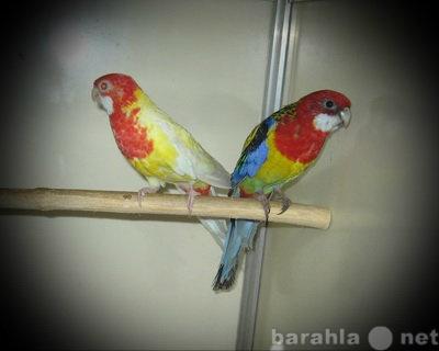 Продам Попугай Розелла птенцы