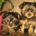 Калининград: щенки йоркширского терьера - объявление n 37648557