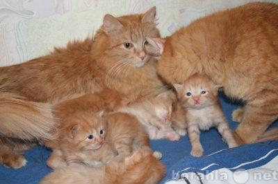 Куплю котёнок