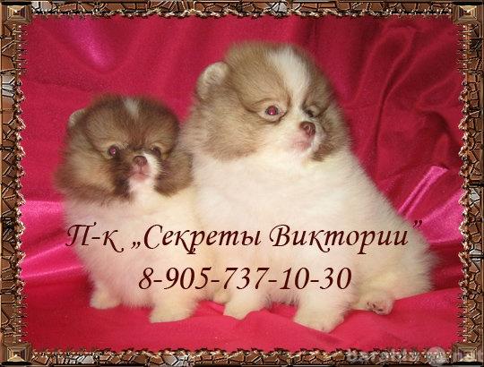 Продам Миниатюрные и малые щенки Померанцы