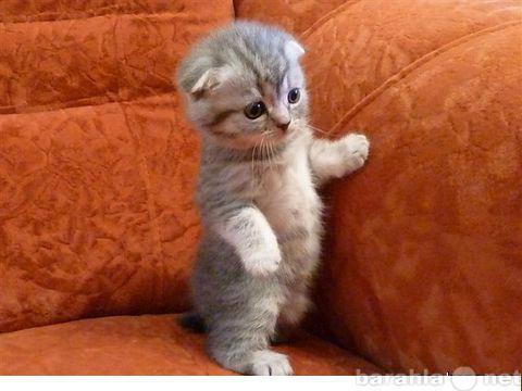 Продам Шотландские котята (фолд)
