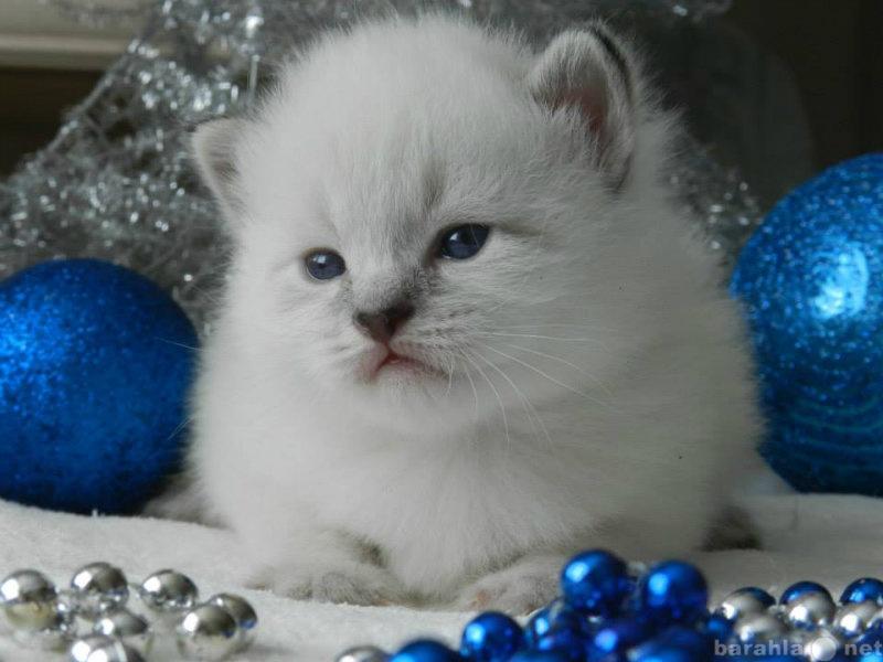 Продам: Невские Маскарадные котята из питомника.