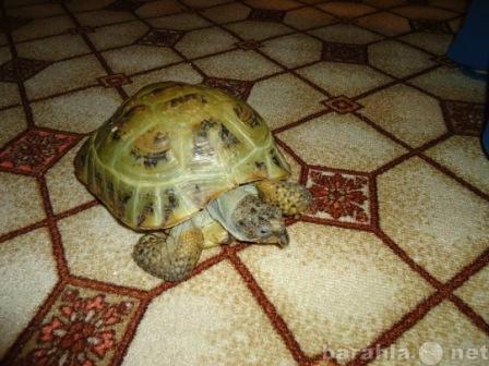 Приму в дар: Среднеазиатскую черепаху