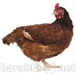 Продам Перепела, куры, петухи, цыплята, утки