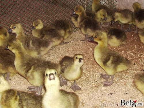 Продам Продам суточную птицу (гусь,утка,и т.д.)