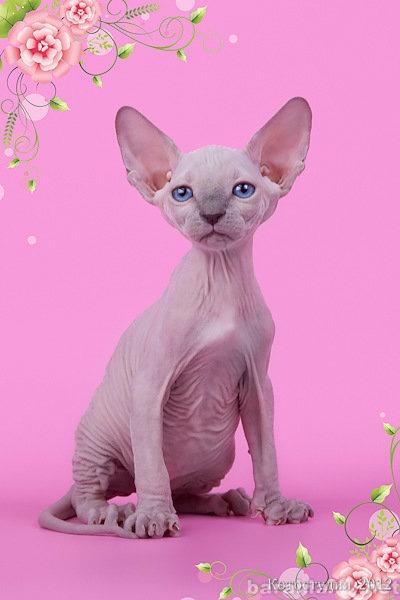 Продам Поднимет Ваше настроение котёнок сфинкс!