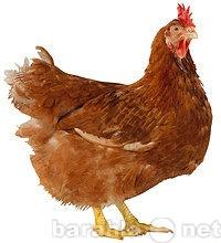 Продам Продаются цыплята суточные