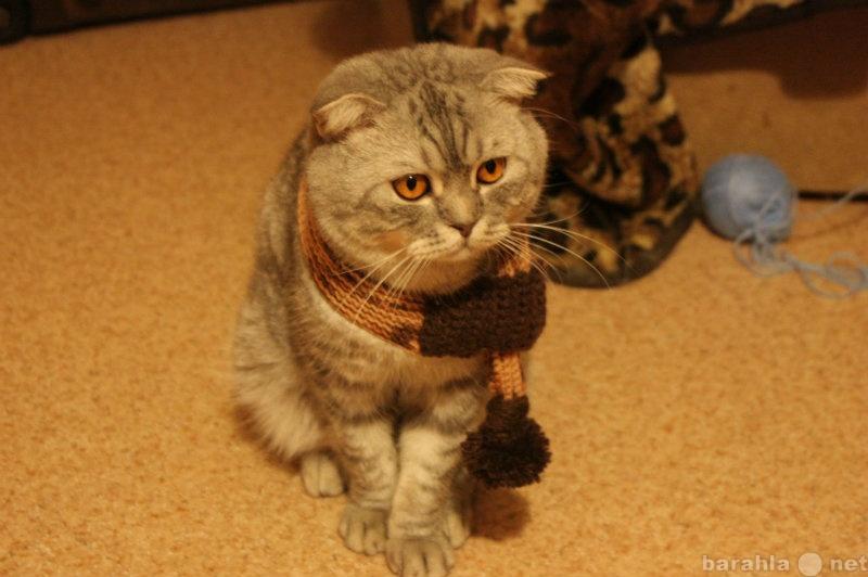 Продам: Шотландец ищет кошечку для вязки