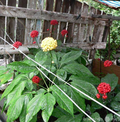 Продам: Семена женьшеня с ЖЕЛТЫМИ ягодами