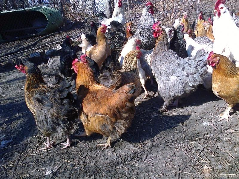 Продам Продам инкубационное яйцо кур,гусей.