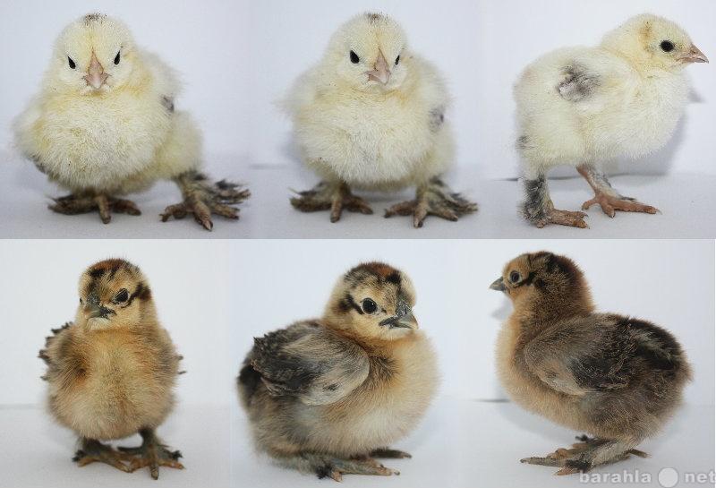 Продам Цыплята Брама