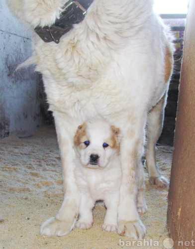 Продам Щенки Алабая (Среднеазиатская Овчарка)