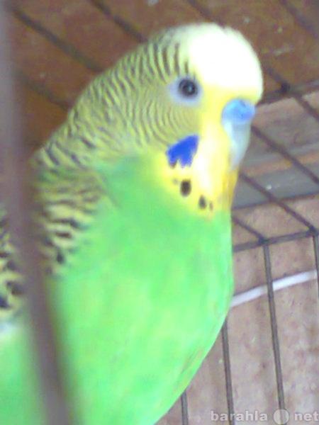Продам: попугаи