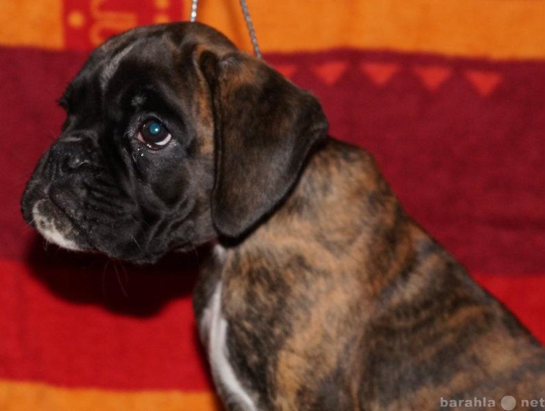 Продам Немецкого боксера щенок с родословной