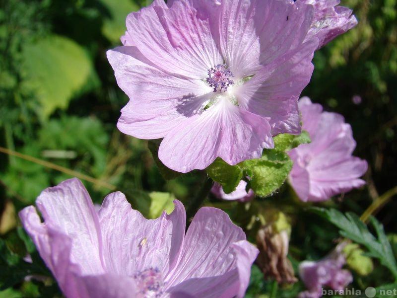 Продам Мальва мускусная и другие садовые цветы.
