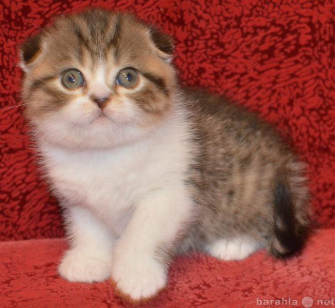 Продам британские и шотландские вислоухие котят