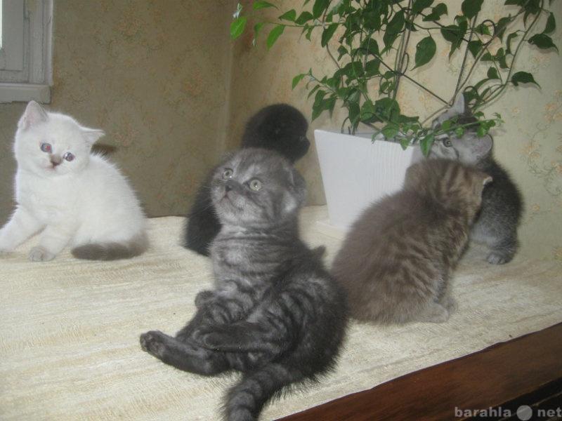 доверили работу котята помесь британца и шотландца фото настоящий момент информация