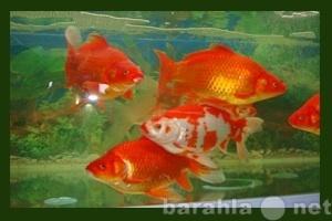 Продам Карп Кои,золотая рыбка,осетр