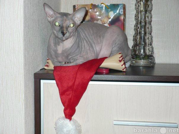Отдам даром: Кошечка Донской Сфинкс