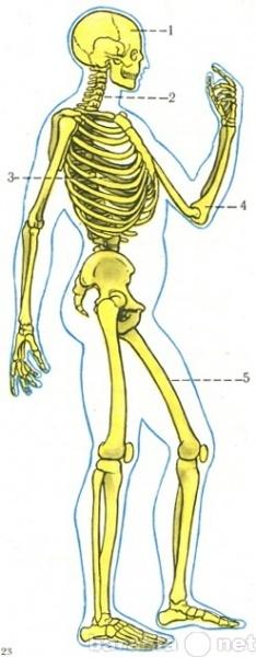 Продам: Скелет_человека и его обозначения