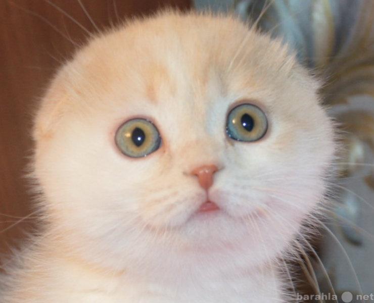 Продам шотландские вислоухие котята
