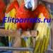 Продам Гибрид попугаев ара Tropicana  - птенцы