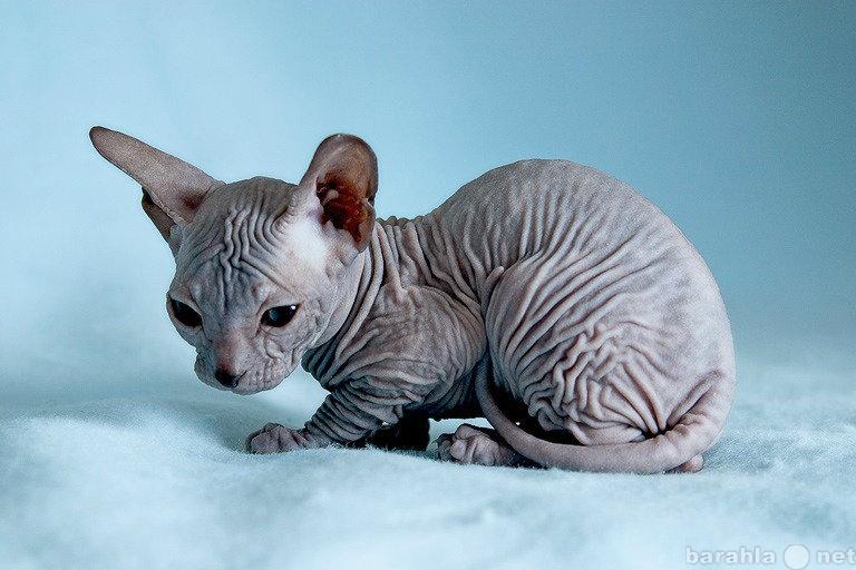 Приму в дар: Котёнка Сфинкса