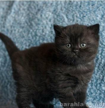 Продам Британские котята  Черный дым на серебре