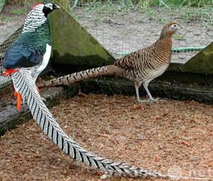 Продам Продаются фазаны Охотничьи в Волгограде