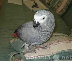 Приму в дар Африканский серый попугай на продажу