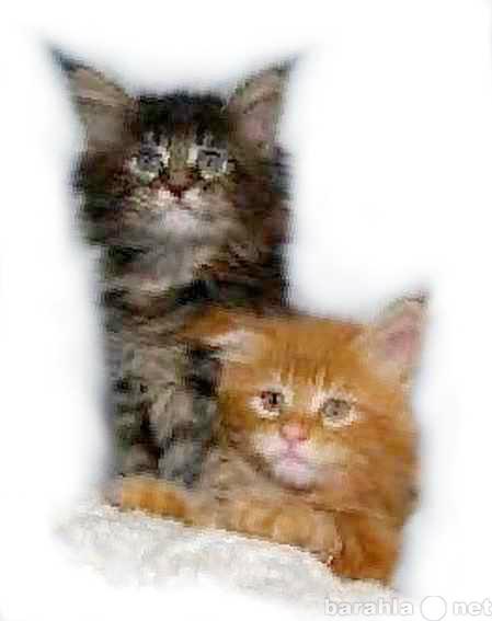 Продам можем предложить котят Мейн кун котики и