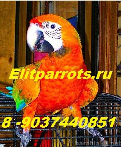Продам Гибриды попугаев ара   -  ручные птенцы