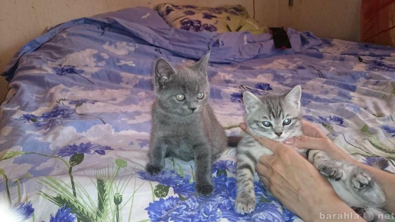 Продам: котёнок британский