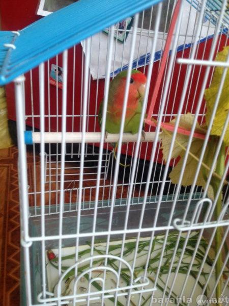 Продам Попугая Неразлучника (девочка)