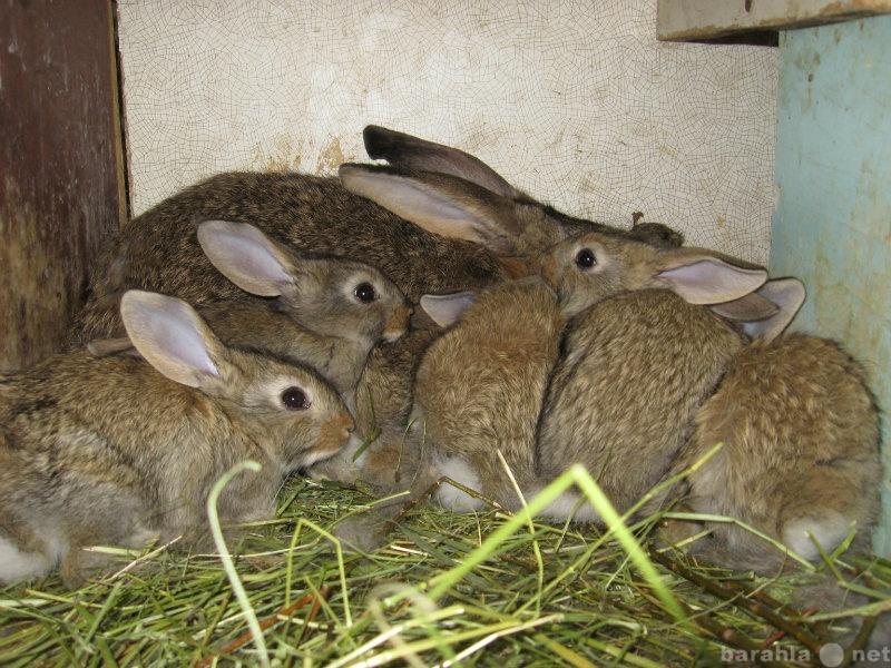 Продам кролики мясной породы