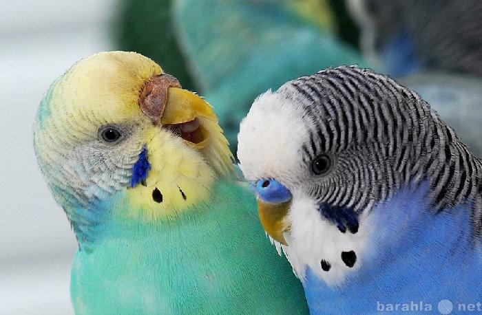 Продам Волнистые попугаи(молодежь)