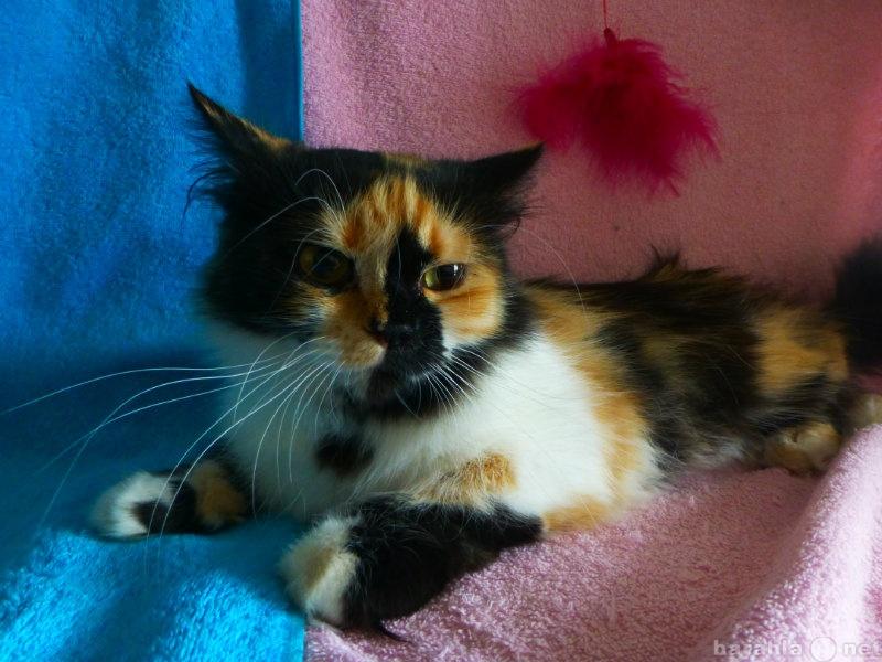 Продам Персидская трехцветная кошечка