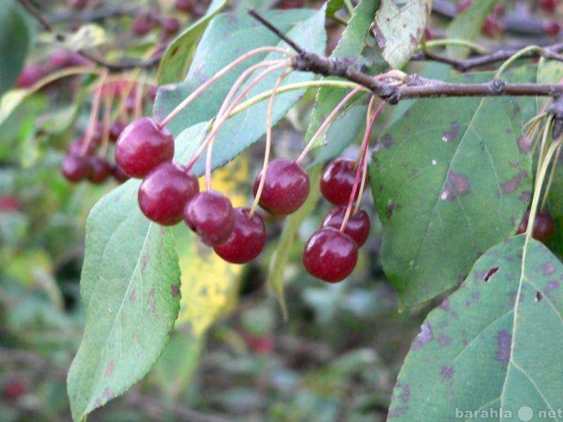 Продам: Саженцы яблони ягодной: лето,весна,осень
