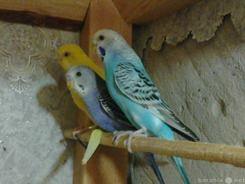 Продам: Волнистые попугаи