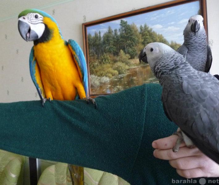 Продам Попугаев средних и крупных в наличии